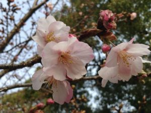 加茂名公民館島田分館,桜の木