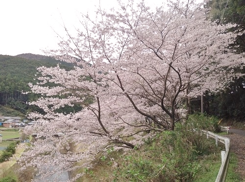 桜,満開,和歌山県,日高川町,広瀬集落の桜