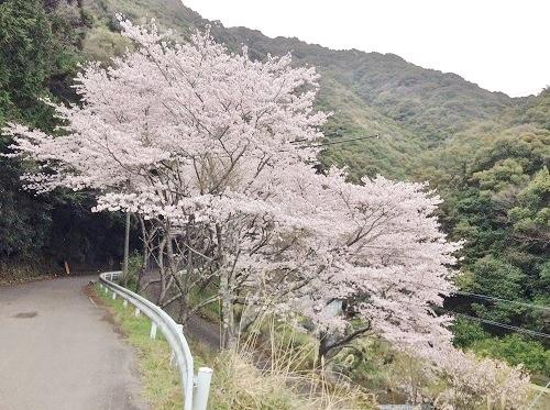 桜,満開,和歌山県,日高川町高津尾,広瀬集落の桜