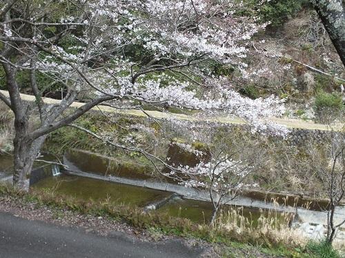 日高川町高津尾広瀬の桜