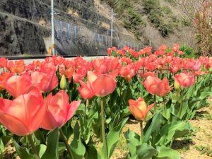 日高川町|チューリップ畑