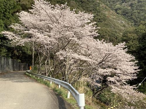 日高川町広瀬の桜